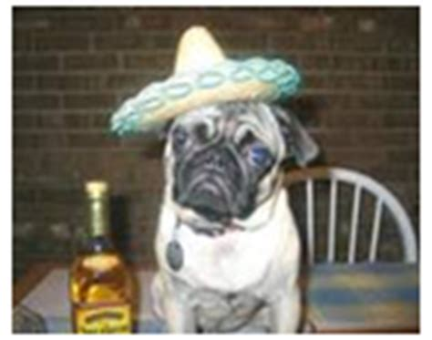 mexican pug pugs images mexican pug photo 23132077