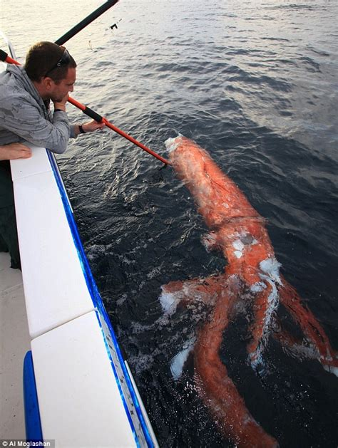 giant squid attacks fishing boat fishing reporter finds corpse of giant 13 foot squid off