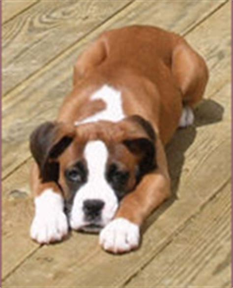 boxer puppies maryland k boxers boxer puppies for sale lancaster pa