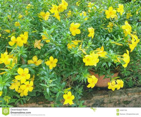 Yellow Flower Garden Yellow Flowers In The Garden Editorial Photo Image 43287106