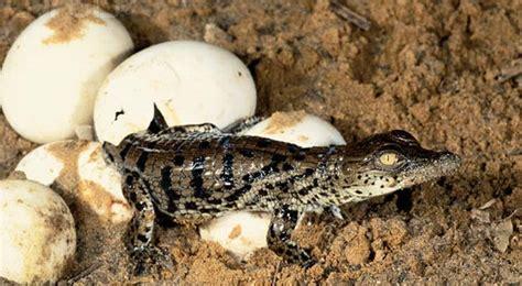 Animal Egg crocodile eggs