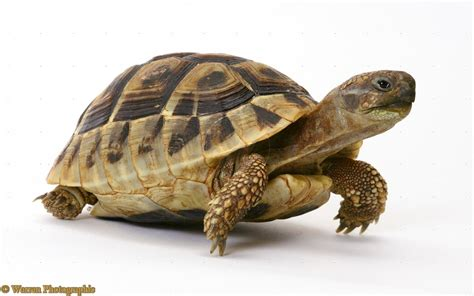 Peliharaan Anakan Kura Kura Baby Turtle hermanns tortoise on outdoor tortoise