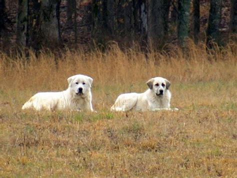 great pyrenees anatolian shepherd mix puppies for sale anatolian shepherd pyrenees mix puppies in california for sale breeds picture
