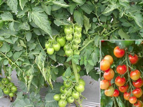 Bertanam Tomat Dimusim Hujan budidaya tomat tanam sayuran