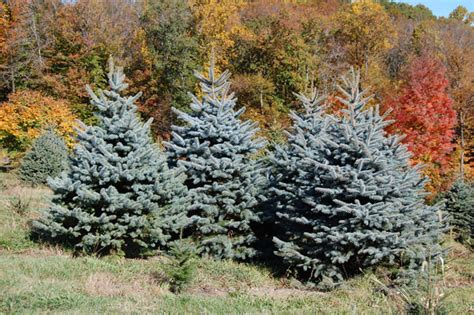 colorado blue spruce trees buy online at nature hills dirt doctor library topics