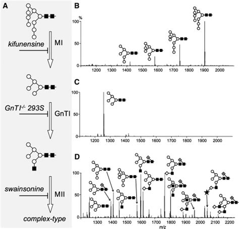 glycosylation pattern analysis manipulation of the mammalian n linked glycosylation