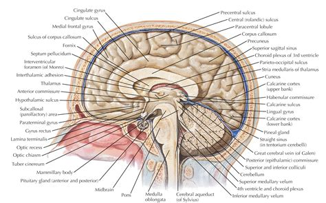 human brain sagittal section labeled diagram of sagittal section of human brain