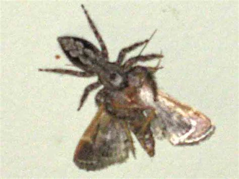 do spiders eat bed bugs jumping spider eats moth what s that bug
