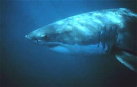 ataque de tiburon submarino en sudafrica el nieto de cousteau filmar 225 al tibur 243 n blanco desde un