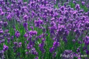 lavender pictures free use image 12 76 9 by freefoto com