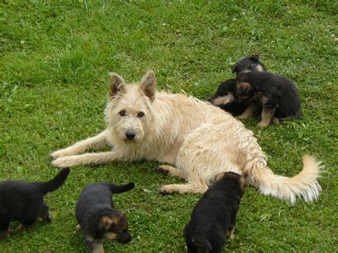 Belgian Shepherd Laekenois With Puppies Photo And Wallpaper Beautiful Belgian