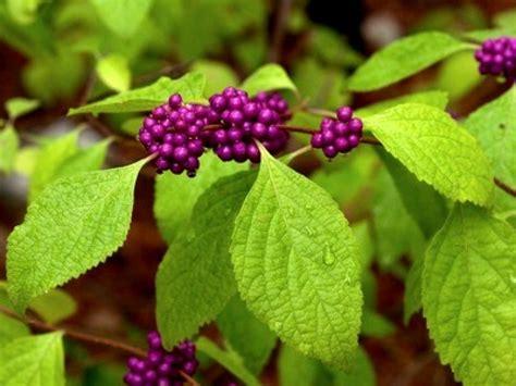 Arbuste A Baie by Arbuste A Baie L Arbuste Des Baies Rouges Sur Le