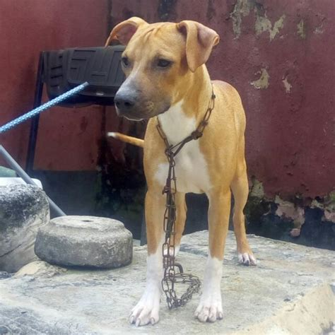 3 month pitbull puppy 3 months american pitbull terrier puppy for sale pets nigeria