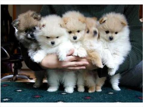teacup pomeranian miami 41 best images about pomeranian pins on mini pomeranian pomeranian dogs
