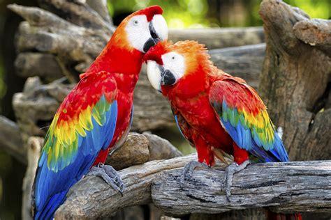 colorful parrots unbelievably splendiferous facts about parrots