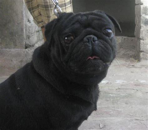 australian pug proven black pug from australian chion line for sale males