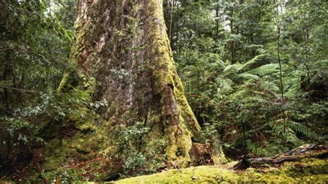 bbc earth tasmanias giant ash trees   worlds
