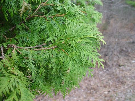 Cedar L thuja occidentalis northern white cedar go botany