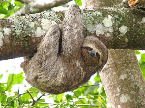 Lepaparazzi News Update Olivier With Two New Brunettes by 7 Informative And Entertaining Facts About Sloths