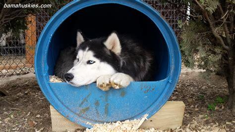 blue barrel dog house siberian husky kennel update siberian husky puppies for sale