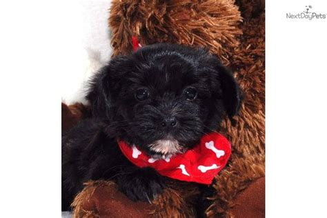 yorkies in dallas maltipoo breeders in central breeds picture