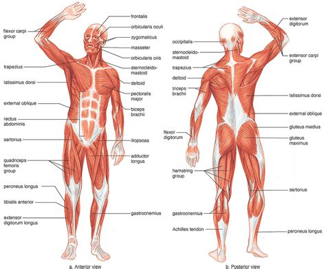 labelled muscular system diagram labeled muscular system muscular system picture 6 muscular