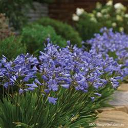 growing agapanthus this summer about the garden magazine about the garden magazine