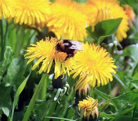 fiori dente di tarassaco o soffione coltivazione