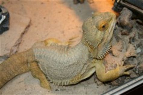 Do Bearded Dragons Shed by Bearded Behaviour