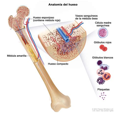 define zygotic induction leucemia linfobl 225 stica aguda en adultos pdq 174 versi 243 n para pacientes national cancer institute