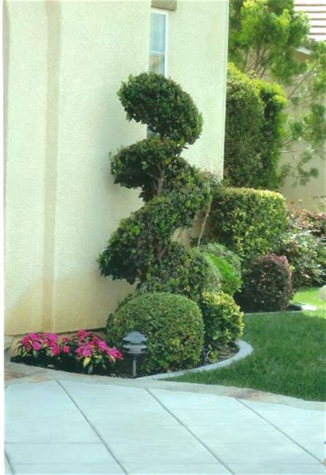 top 28 spiral shrubs double spirals shape it topiary pinterest dwarf alberta spruce picea