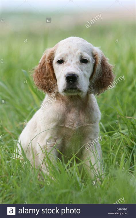 english setter apartment dog dog english setter puppy orange belton sitting in a