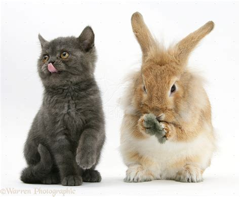 pin lionhead rabbit pictures to pin on pinterest tattooskid