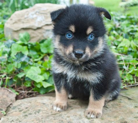 pomeranian husky price range what is a pomsky aka the pooch certapet