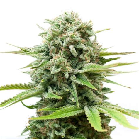 semi cannabis semi white widow femminizzati high supplies