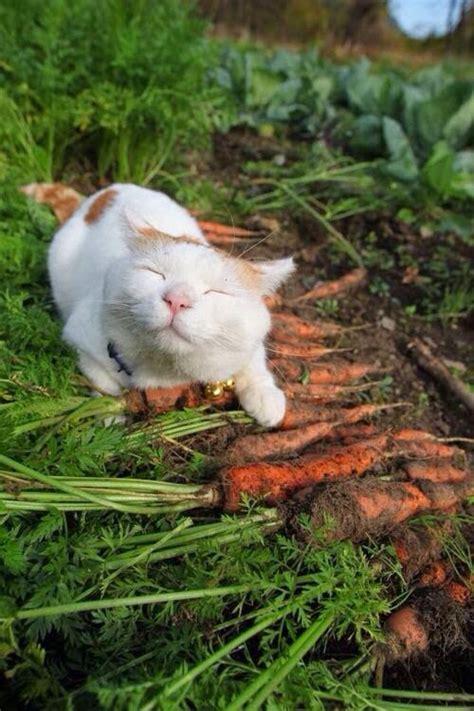 cat haircuts edmonton shironeko cat is happiest sleepiest cat in the world 17