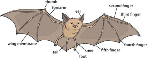 labelled diagram of a bat why bats are ask a biologist