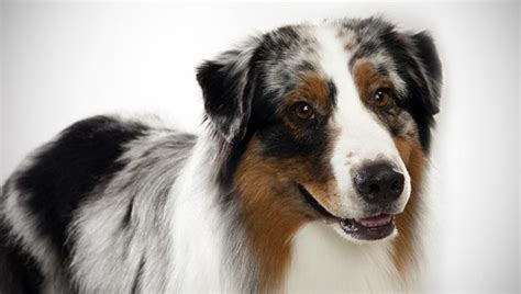 aussie breed australian shepherd breed selector animal planet