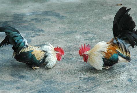 videos de gallos las peleas mas rpidas peleas de gallos las mas rapidas youtube