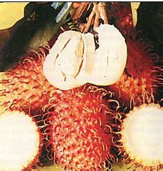 Bibit Buah Rambutan Unggul bibit buah rambutan nephelium lappaceum cv