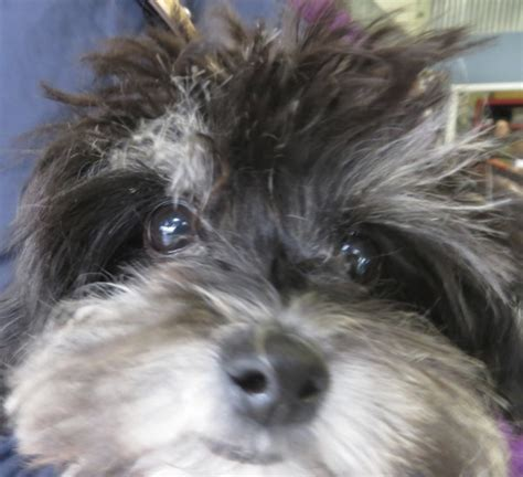 pomeranian schnauzer poodle mix of the day binky the pomeranian poodle puppy the dogs of san franciscothe dogs
