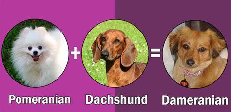 pomeranian weenie mix top 10 pomeranian cross breeds mix breeds by dogmal