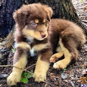 25 ideas aussie puppies puppies mini aussie dogs