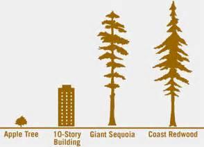 tree varieties comparison coast redwoods save the redwoods league