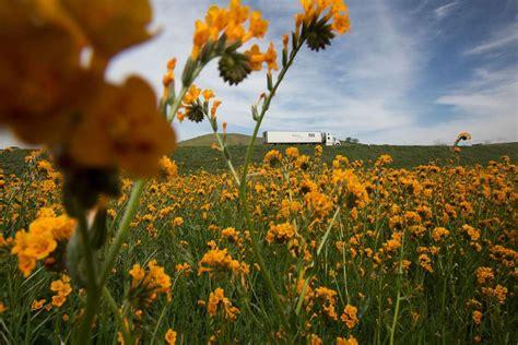 imagenes de kevin flores en fotos florece el desierto en california gracias a el