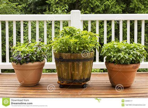 home herb garden  large flat leaf basil plants