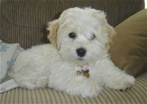 coton de tulear puppy cut coton de tulear breed pictures 1