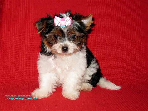 biewer vs yorkie biewer terrier in uk dogs in our photo