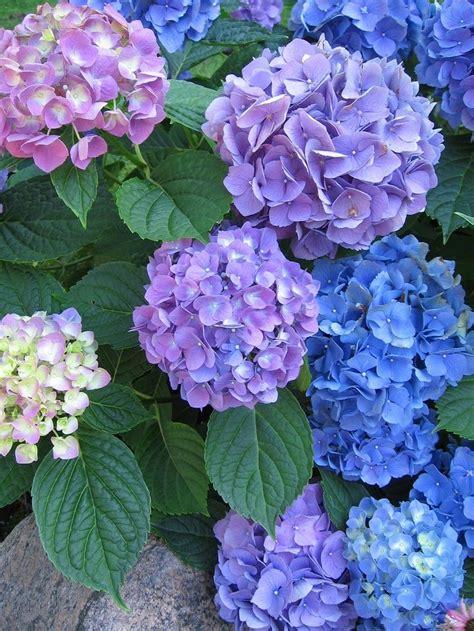 Hortensia Purple hydrangeas flowers