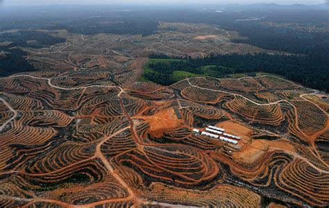 amazon di indonesia palm oil and deforestation delving into drivers of forest